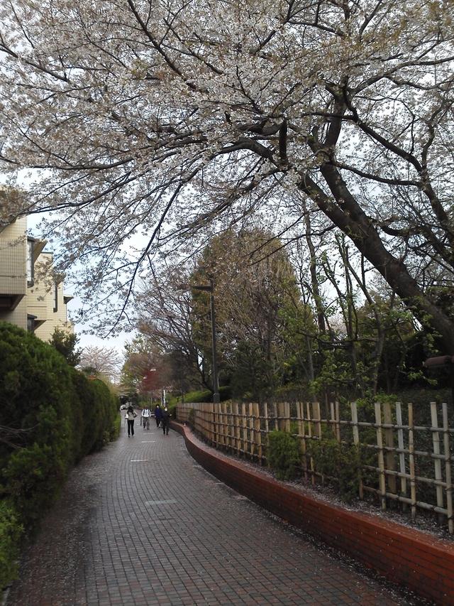 桜 小竹向原